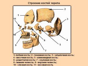строение-черепа-фото