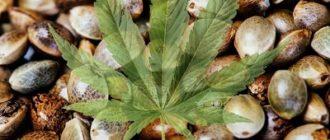 Семена конопли и ее полезные свойства для организма, которыми она обладает